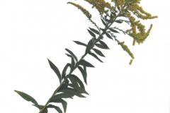 herbarium_goldrute