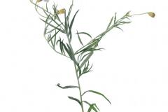 herbarium_kornblume_01