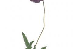 herbarium_mohn