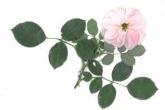 herbarium_rose_02