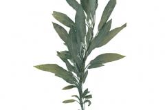 herbarium_salbei